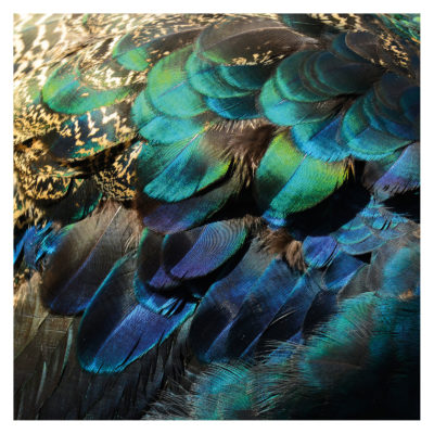 colorful-peacock-feathers-aluart-mondiart-wall-art