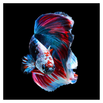 betta-fish-slamese-fighting-aluart-mondiart-wall-art