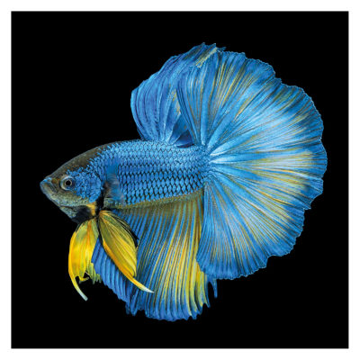 fish-blue-yellow-tail-aluart-mondiart-wall-art