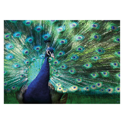 peacock-displaying-plumage-wall-textiles-mondiart