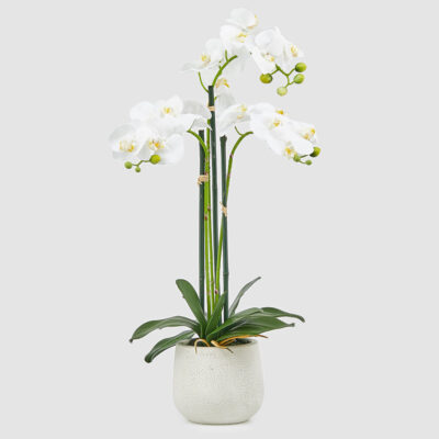white orchid with vase by EDG