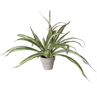 Adson hanging dracaena in pot by Latzio